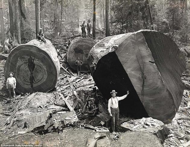 lumberjacks-chopping-giant-redwoods