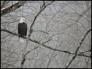 bald eagle on Musky(PARKE)