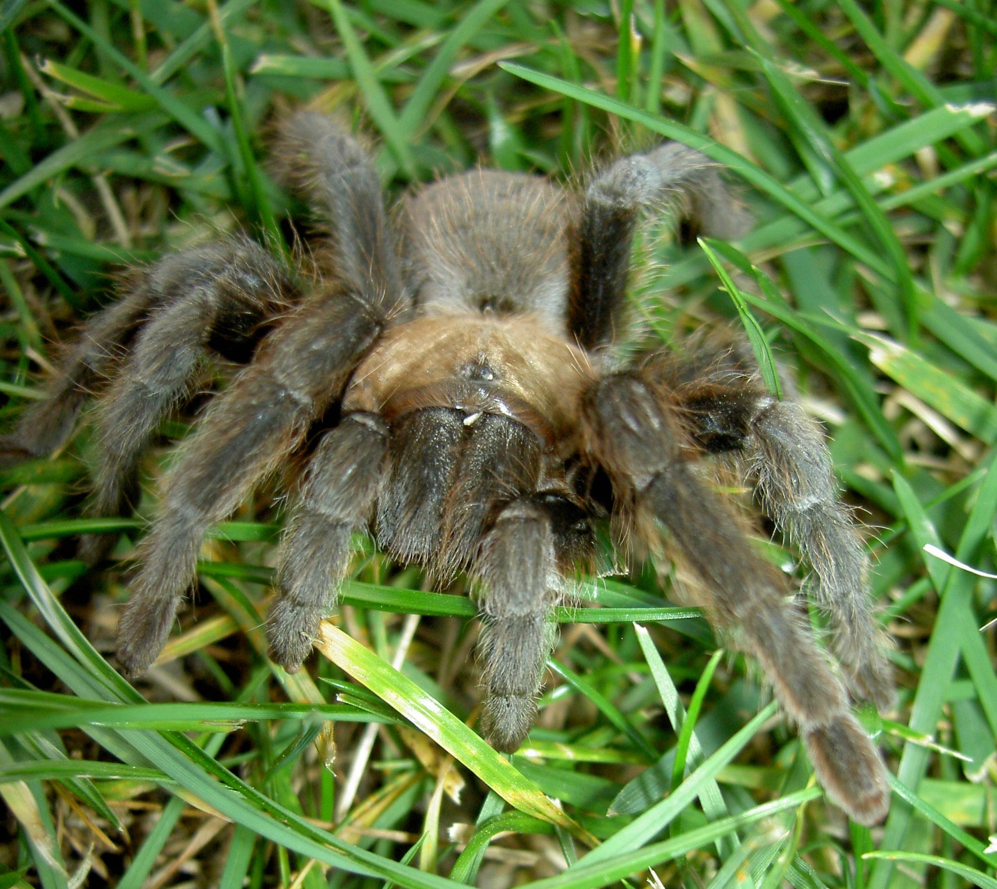 A Good Dose of Spider Poison: Tarantula Venom at Home and on the Farm