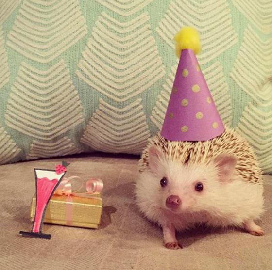 hamlet-hedgehog-with-hat-on