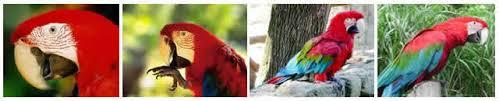 maracaná papagayo en curiosidario