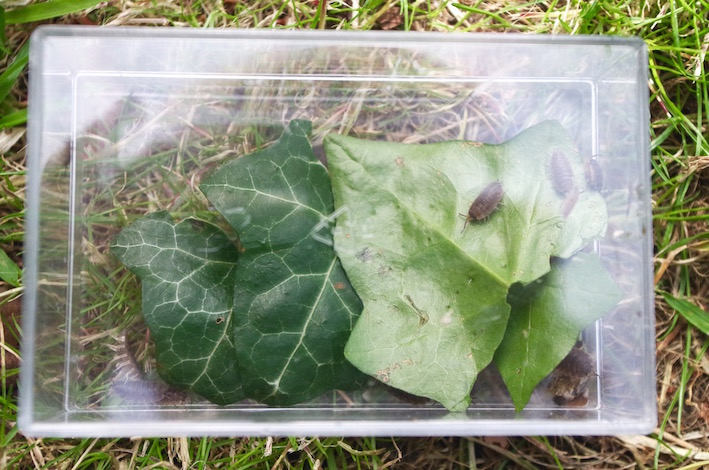 Woodlice in boxes