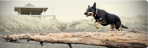 dog agility and obedience