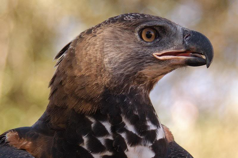 scary birds - African Crowned Eagle