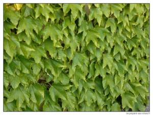 Mur couvert par une plante grimpante
