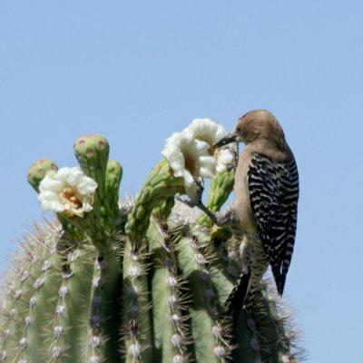 Gila Woodpecker|Saguaro National Park|Tucson, AZ