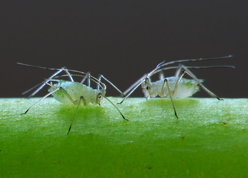 Endosymbiosis in Aphids: Nutrients from Symbiotic Bacteria Help Greenfly Survive on Plant Sap