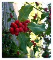 Holly and Ivy Too Well Grown: Invasive Holiday Plants in the United States