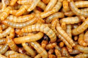 Mehlwürmer, Nahaufnahme mehrerer Tiere.