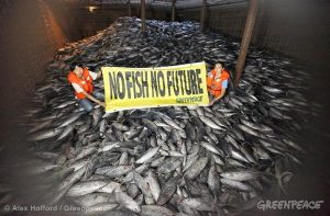 "Greenpeace activists hold up a banner reading ""No fish No future"" in the hold of the ship 'Heng Xing 1' in an area of international waters near the exclusive economic zone of Indonesia. The Cambodian flagged vessel, was caught illegally transhipping frozen tuna from a Philippine fishing vessel and two other Indonesian vessels in the Pacific high seas, where none of the ships have licenses to operate. Under international law, the lack of a valid license means the vessels forbidden to engage in any fishing activities - including fish transfer. The transshipment of fish from one vessel to another is prohibited in international waters under international law as it has been proven to aid illegal, unregulated and unreported fishing activities. Greenpeace activists boarded the 'Heng Xing 1' and found the hold to be full of skip jack tuna and juvenile yellowfin, which are likely to be destined for canned tuna markets in the West. Yellowfin tuna is classified on the International Union for the Conservation of Nature (IUCN) 'Red List' as 'Near Threatened'. Pirate fishing operations are common in international waters where monitoring and surveillance is difficult. Greenpeace is calling for a network of marine reserves to be established in four high seas pockets known as the Pacific Commons, and for these be declared off limits to fishing."