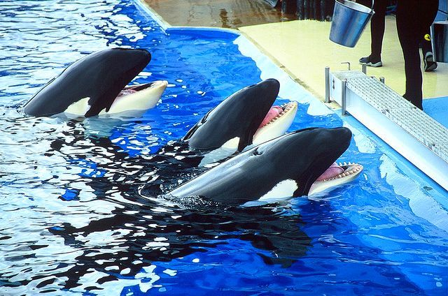 Kasatka, Takara and Corky 2 (front to back)