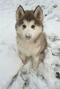 Siberian Husky Puppy in Snow