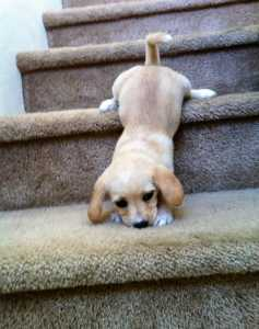 Puppy is training to use stairs