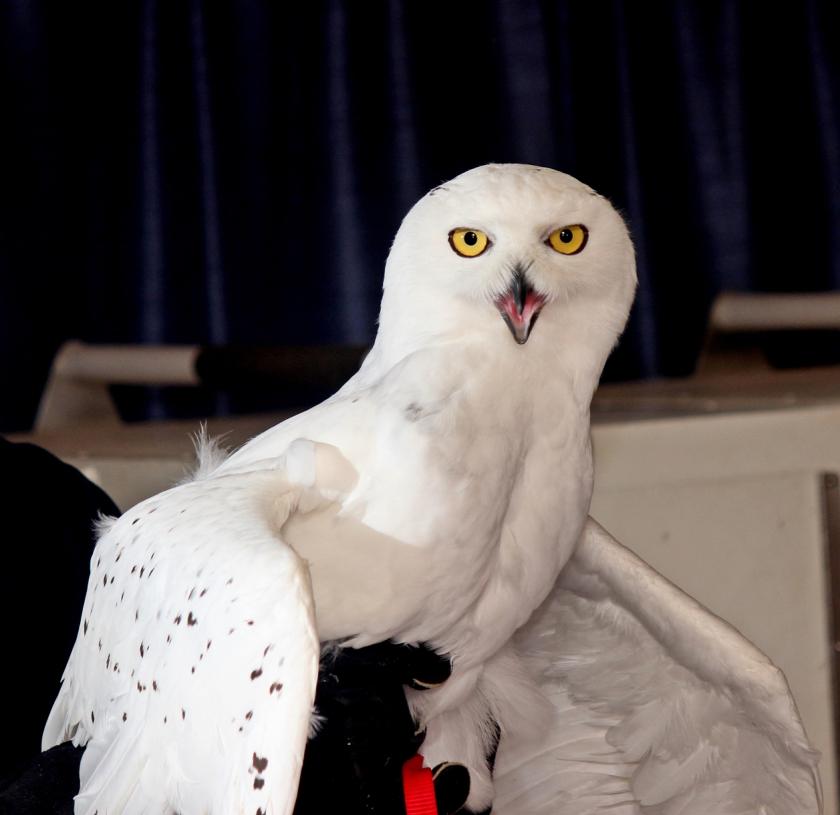 Snowy Owl 3091