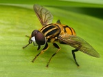 Photo: How to tell a bee from a wasp from a fly