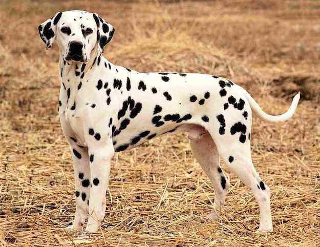Spotted | Dog Coat Pattern | Dog Coat Colors and Patterns for Various Dog Breeds