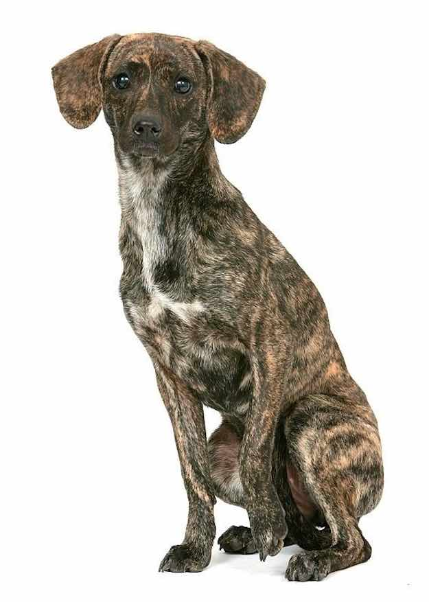 Brindle | Dog Coat Pattern | Dog Coat Colors and Patterns for Various Dog Breeds