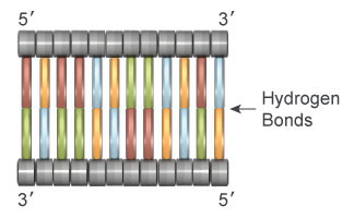A schematic shows 24 nucleotides arranged to form a double-stranded segment of DNA using grey horizontal cylinders as sugar molecules and colored vertical rectangles as nitrogenous bases.