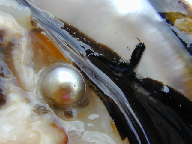 Indonesia south sea pearls (Lombok Pearls)