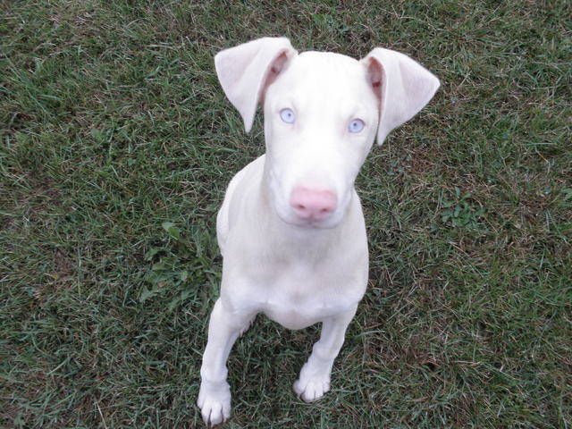 white-doberman-blue-eyes