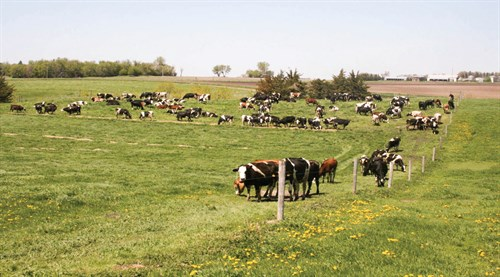 cattle-in-an-open-field