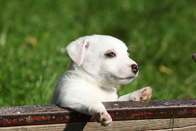 How much do Jack Russell Terriers shed? | Jack Russell Terrier Dogs and Puppies