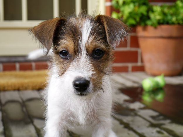 What does a Jack Russell Terrier look like? | Jack Russell Terrier Dogs and Puppies