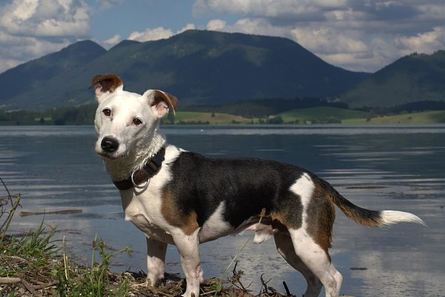 Why are Jack Russell Terriers aggressive? | Jack Russell Terrier Dogs and Puppies