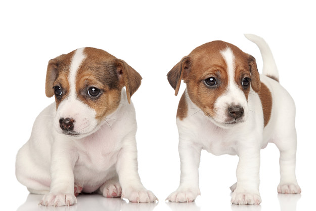 How much do Jack Russell Terrier puppies cost? | Jack Russell Terrier Dogs and Puppies