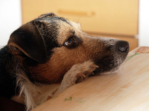 Are Jack Russell Terriers good family pets? | Jack Russell Terrier Dogs and Puppies