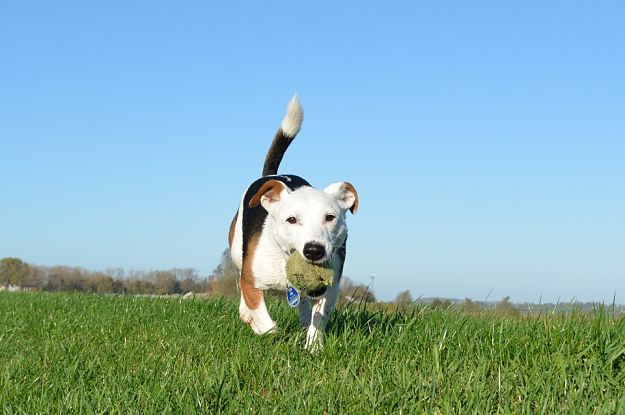 Are Jack Russell Terriers easy to train? | Jack Russell Terrier Dogs and Puppies