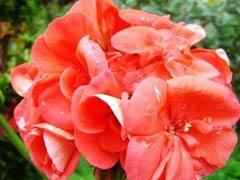 影响天竺葵开花的主要因素