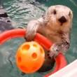 sea otter basketball