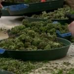 Colorado's missing marijuana taxes