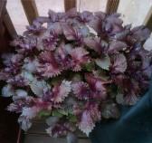 紫叶紫苏_紫色苏子