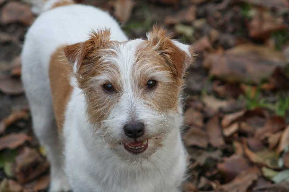 Jack Russell Terrier Dogs and Puppies