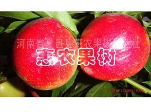 中油12号油桃 中油12号油桃苗 早熟油桃 早熟油桃苗 油桃苗
