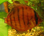 Bacterial Fin Rot
