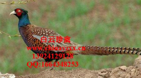 种鸡场直供父母代山鸡种苗,中国山鸡苗
