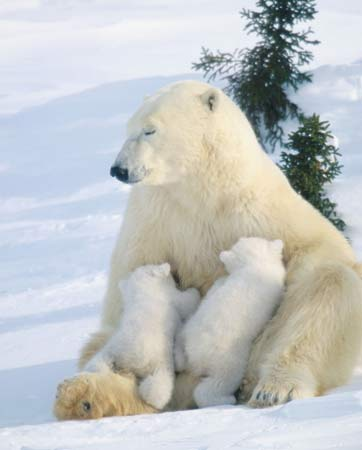 Mother polar bear nursing her cubs (Ursus maritimus).
