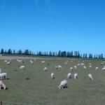 We saw lots of sheep