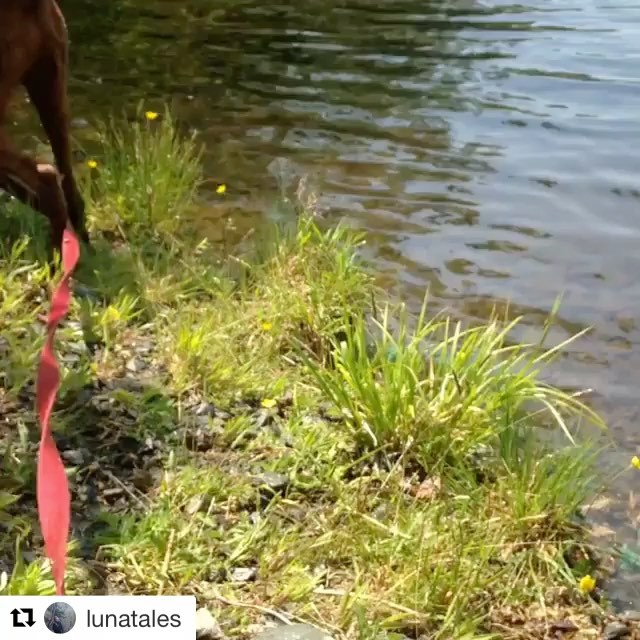 Check out this handsome #adoptable boy from our #dartmouth shelter! Awesome day of adventures for him! Do you want a new buddy to take long hikes with? He could be your man! #Repost @lunatales (@get_repost) ・・・ @nsspca Trace on his last outing Tuesday, we found a lake for him to cool off in. #dogs #dog #summer #dogstagram #dogsofinsta #dogslife #lake
