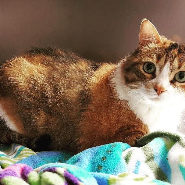 Our weekly highlight this week is lovely Mir! She is one of our longest term residents and is a very sweet, playful kitty who loves her hang outs in the office. She has been with us since March of this year and is eagerly awaiting her forever home.  Because of a previous issue with bladder stones, Mir would have to be on a specialty diet (Urinary SO) to help prevent any similar problems from arising in the future.  We also think Mir would do best in a home with no other pets (she wants all the love and attention to herself!) and older children.  Mir is a darling cat who loves playing with toys and getting comfy in a cat bed or blanket. She is also talkative and likes to have conversations with her people.  If you want to meet a sweet cat, please come visit the shelter any time between 10:00AM and 4:00PM all weekend to visit with Mir and/or our other adoptable felines! #rescue #sheltercat #shelterpets #shelterpetsrock #catsofhalifax #catsofinstagram #catstagram #adoptdontshop