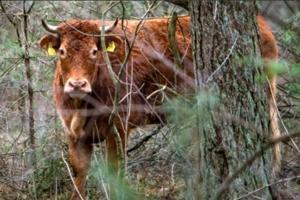 Meet Hermien, the Dutch cow who escaped the abattoir to become a...