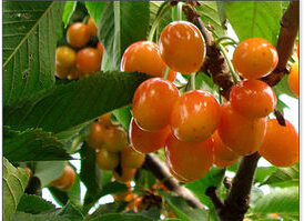 黄蜜樱桃苗