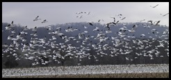 Thousands of snow geese land in a farm field adjacent to the Musconetcong River