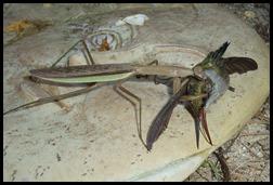 chinese mantis eating hummingbird