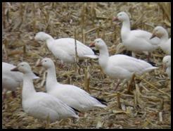 Snow Geese in Corn Stubble in Warren County