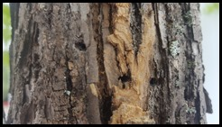 EAB holes in Ash