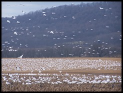 Thousands of Snow geese next to Musconetcong River, Warren County, NJ 2008